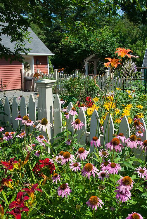 Lush perennial flower garden with daylilies Hemerocallis, Echinacea, Heliopsis, Veronicastrum Fascination, barn, shed, picket fence, sunny summer day in July, full of blooms, classic garden scene