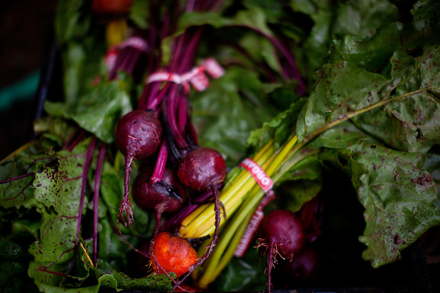 Ojai, California, October 19, 2010 - A selection of ruby red and golden yellow beets from the weekly fall harvest at Rio Gozo Farm for their CSA, Community Supported Agriculture, members. The 4-acre farm is cultivated and managed by micro-farmer John Fonteyn and his wife Elizabeth. While there are several farms in Ojai that operate CSAs, Fonteyn saw a need for nearby Ventura, where no such opportunity exists. Though farming is a fairly solitary profession, Fonteyn has made a point to include the community by selecting creative pickup destinations and by hosting seasonal parties at his farm so that his members can visit, meet one another and learn more about where their food comes from. Members can also volunteer to help harvest once a week in exchange for food and the knowledge of how to grow and harvest various vegetables. Fonteyn also reaches out into the community by donating his time and some of his harvest to organizations that help to promote shared ideas of sustainability, local sourcing, and organic farming and well as building a network of communities around these shared values. ..Community Supported Agriculture, CSA, is an idea began in the 1960's whereby a farmer offers 'shares' to the public in return for payment up front. Each week the farmer delivers what seasonal produce is harvested. There are many advantages to both the farmer and the consumer. Benefits to the farmer include: 1) He has time to market early in the season to build subscriptions, allowing for more time during farming seasons to focus on the long harvesting days; 2) He receives payment early in the season which helps with the cash flow for seeds, planting and other up front costs; and 3) It allows the farmer to grow a more varied crop, minimizing the economic effects of trends in produce.  Benefits to the consumer include: 1) Ultra-fresh, locally grown, often organic produce; 2) Exposure to new vegetables and new ways of cooking; 3) Opportunity to develop a relationship with the farmer