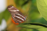 Butterfly, Longwing, Zebra Heliconian, Heliconius charithonia, Resting On A Leaf And Cleaning It's Proboscis