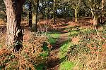 Sandlings woodland path Shottisham heath,  Suffolk, England, UK