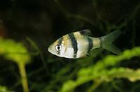 Sumatrabarbe, Viergürtelbarbe, Puntigrus tetrazona, Puntius tetrazona, Barbus tetrazona, Capoeta tetrazona, tiger barb, Sumatra barb, Le Barbu de Sumatra