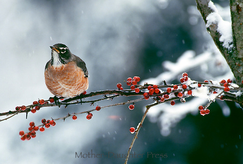 Robin, Turdus migratorius, perches on branch of snowy red holly berries in winter, Midwest USA