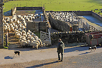 David Eames of Middle Lee, Abbeystead, Lancashire moving his Swaledale ewes in for scanning. The Mule flock is due to start lambing on March 1st and the fell sheep on April 10th.