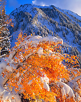 Snowy Aspen at Alta, Autumn Storm in the Wasatch Mountains, Wasatch/Cache National Forest, Utah   Rocky Mountains