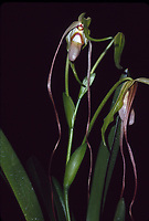Phragmipedium wallisii