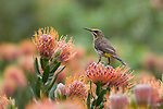 Cape sugarbird, Promerops cafer, perched on protea, Kirstenbosch botanical gardens, Cape Town, South Africa