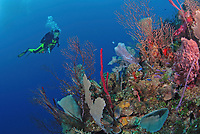 Scuba diver swims up to wall edge with sponges and corals, Roatan Island, Honduras, Caribbean, MR