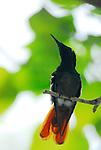 Hummingbird, backlit, Bonaire, NA. Probably a young Buff-bellied Hummingbird (Amazilia yucatanensis)