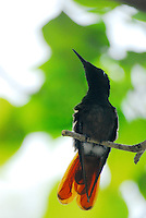 Hummingbird, backlit, Bonaire, NA. Probably a young Buff-bellied Hummingbird (Amazilia yucatanensis)