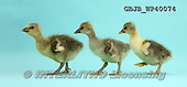 Kim, ANIMALS, REALISTISCHE TIERE, ANIMALES REALISTICOS, photos,+Embden x Greylag Goslings walking on blue background.,++++,GBJBWP40074,#A# ,funny