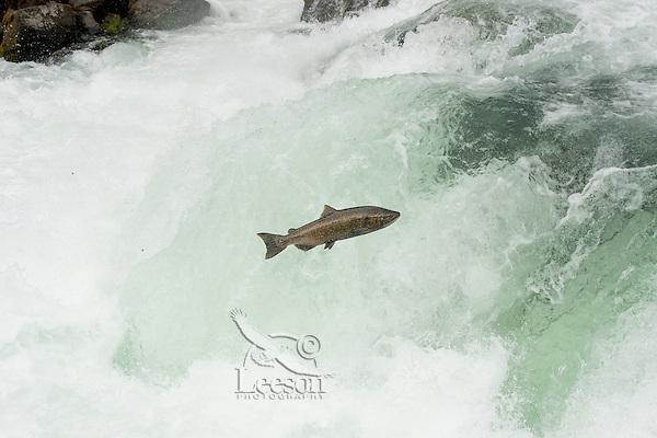 Spring Chinook Salmon or King Salmon (Oncorhynchus tshawytscha) jumping falls on spawning migration.  Umpqua River, OR.  May.