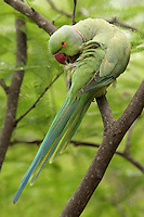 The Rose-ringed Parakeet (Psittacula krameri), also known as the Ringnecked Parakeet, is a gregarious tropical parakeet species.