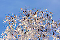 A group of Bohemian Waxwing birds are perched at the top of a frost and snow covered birch tree on a sunny blue-sky day in Anchorage, Alaska. Winter Southcentral
