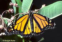 MO01-024z  Monarch Butterfly - adult on milkweed - Danaus plexippus
