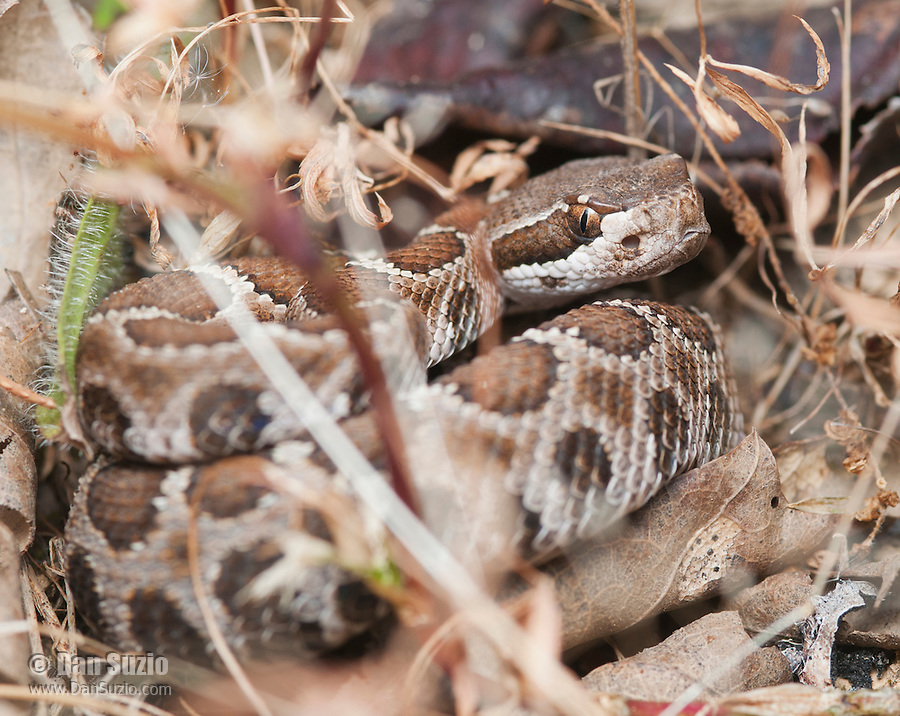 Northern Pacific rattlesnake, Crotalus viridis oreganus, in defensive pose. Mendocino County, California
