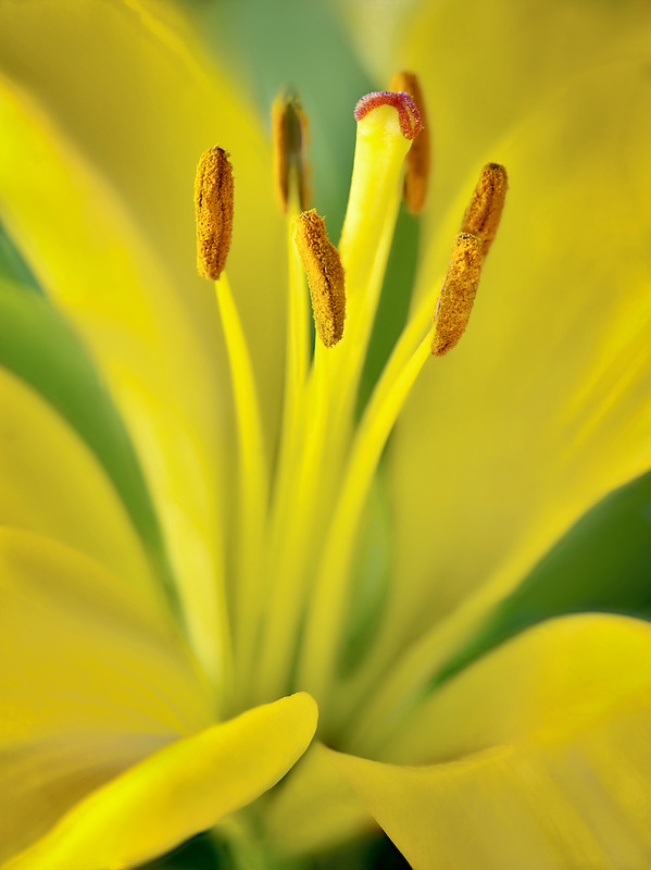 Close up of Asiatic Lily.