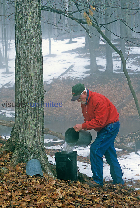 Collecting sap from a Sugar Maple (Acer saccharum) tree in the spring to make syrup or sugar candies.