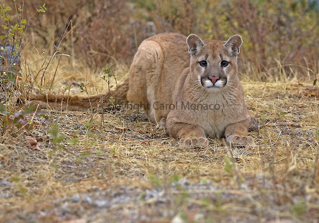A mountain lion sitting, but looking very alert, United States
