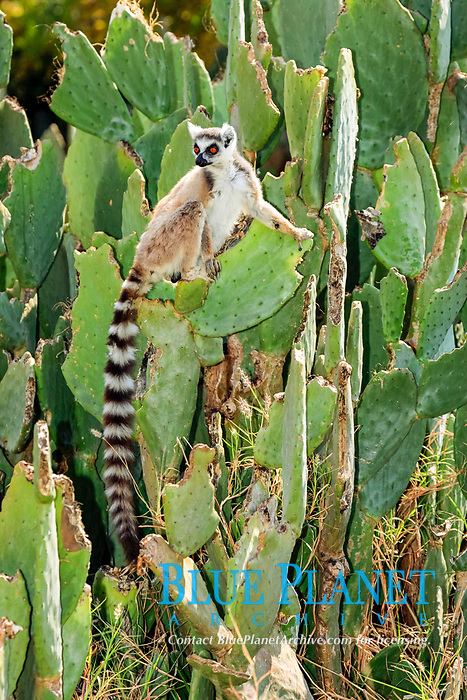 Ring-tailed Lemur (Lemur catta), adult, on a cactus, Berenty Game Reserve, Madagascar, Africa