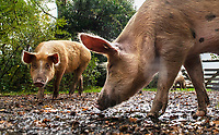 BNPS.co.uk (01202 558833)<br /> Pic: PhilYeomans/BNPS<br /> <br /> Pigging Out...A glut of acorns in the New Forest this year has led to a welcome extension to the Pannage season...if you are a pig that is.<br /> <br /> Pannage normally ends in mid November, when the fattened pigs are converted into Christmas bacon.<br /> <br /> But after a huge autumn fall of acorns, that are poisonous to the ancient forests famous ponies, the fortunate pigs are being kept out a month longer to hoover up the dangerous fruit.<br /> <br /> But the hot and dry end to this year's summer has led to a bumper crop of the oak tree fruit and the 600 pigs have been given the green light to carry on until December 23.
