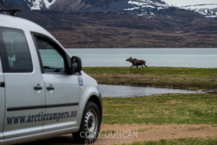 Moose runs along coast ahead of Arctic Camper Van, Vesterålen, Norway