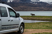 Moose runs along coast ahead of Arctic Camper Van, Vesterålen, Norway