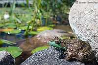 Frog near the water