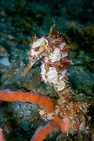 hedgehog seahorse., Hippocampus spinosissimus, female, Puerto Galera, Mindoro, Philippines, Indo-Pacific Ocean