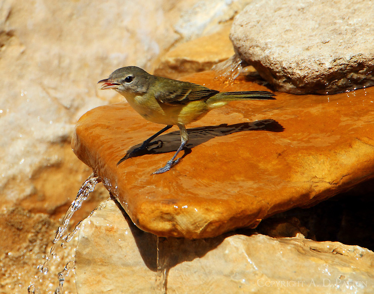 Bell's vireo at water feature