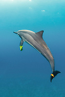 spinner dolphin, Stenella longirostris, playing by carrying a leaf on pectoral fin and caudal fin, Hawaii ( Central Pacific Ocean )