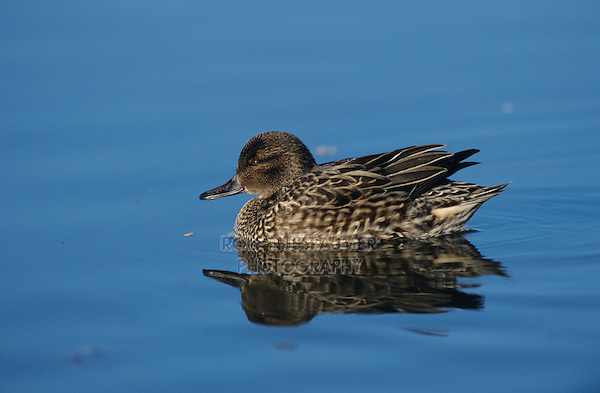 Green-winged Teal, Anas crecca, female swimming, Port Aransas, Texas, USA, February 2003