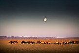 MONGOLIA, Gobi Desert, wild horses under the full moon in the morning