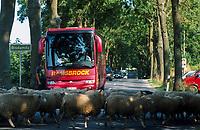 GERMANY, organic farm, sheeps crossing road / DEUTSCHLAND, Biofarm Hof Bisdamitz auf Rügen, Schafe haben Vorfahrt