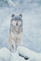 Gray wolf or Timber wolf (Canis lupus) in winter snowstorm