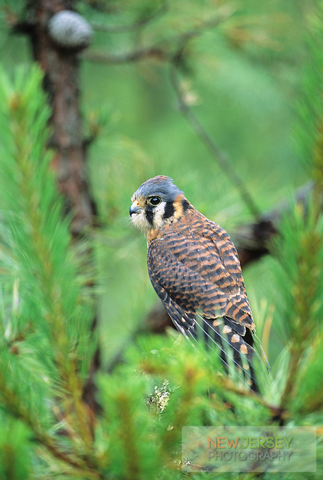 American Kestrel, Pine Barrens, New Jersey