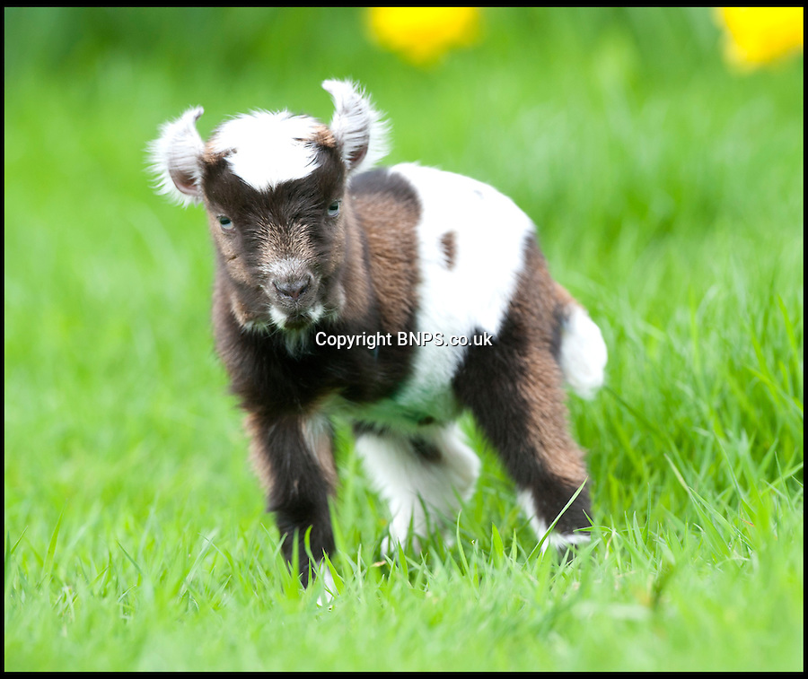 BNPS.co.uk (01202) 558833<br /> Picture: Laura Jones<br /> <br /> Tripod the 3 legged pygmy goat<br /> <br /> You must be kidding!<br /> <br /> This adorable eight-inch baby goat has left breeders baffled - because it was born with one leg missing.<br /> <br /> The tiny pygmy goat was born without its front left leg and it was feared the bizarre deformity meant it wouldn't survive.<br /> <br /> But the cute kid has since been given a clean bill of health - and has even developed its own special hop to get around its pen.<br /> <br /> It has been named Tripod and its breeders are now looking to find it a loving home.<br /> <br /> Tripod was one of seven pygmy kids born at Ian Charlton and Karen Butler's smallholding in in Lymington, Hants.<br /> <br /> The pair then sell the goats, which are known for their friendliness, for up to £250.