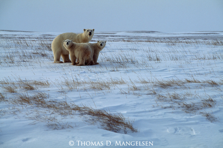 A polar bear family stands together observing their snowy surroundings in Churchill, Manitoba, Canada.