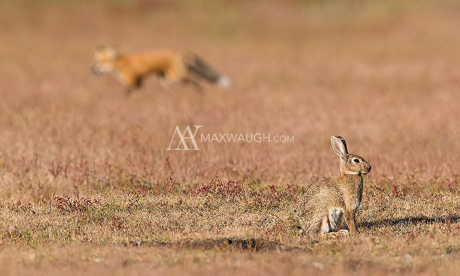 European rabbits coexist with foxes on San Juan Island. It's a tenuous relationship. The rabbits generally are wary and can escape the foxes fairly easily, but on occasion adult foxes will manage to catch rabbits or invade a warren to get to the babies.