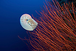 Chambered nautilus in red whip coral.Nautilus Pompilius