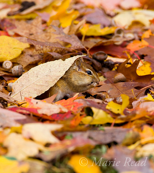 Eastern Chipmunk (Tamias striatus) foraging amid autumn leaves, New York, USA