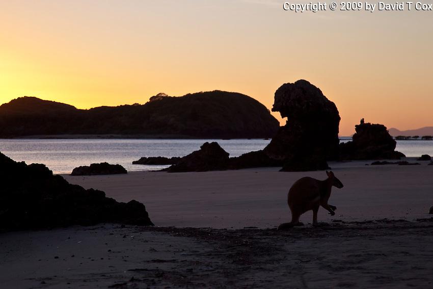 Agile Wallaby sunrise, Cape HIllsbourough NP, Queensland, Australia