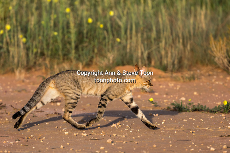 African wildcat (Felis silvestris lybica), Kgalagadi transfrontier park, Northern Cape, South Africa, February 2017