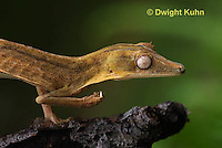 GK13-500z  Lined Leaf-tailed Gecko Climbing, Uroplatus lineatus