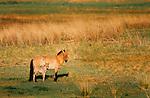 Przewalski's wild horse or Takhi (Equus przewalskii), Gorkhi-Terelj National Park, Mongolia<br /> Canon EOS-1N<br /> Canon EF 600mm lens<br /> June 1998