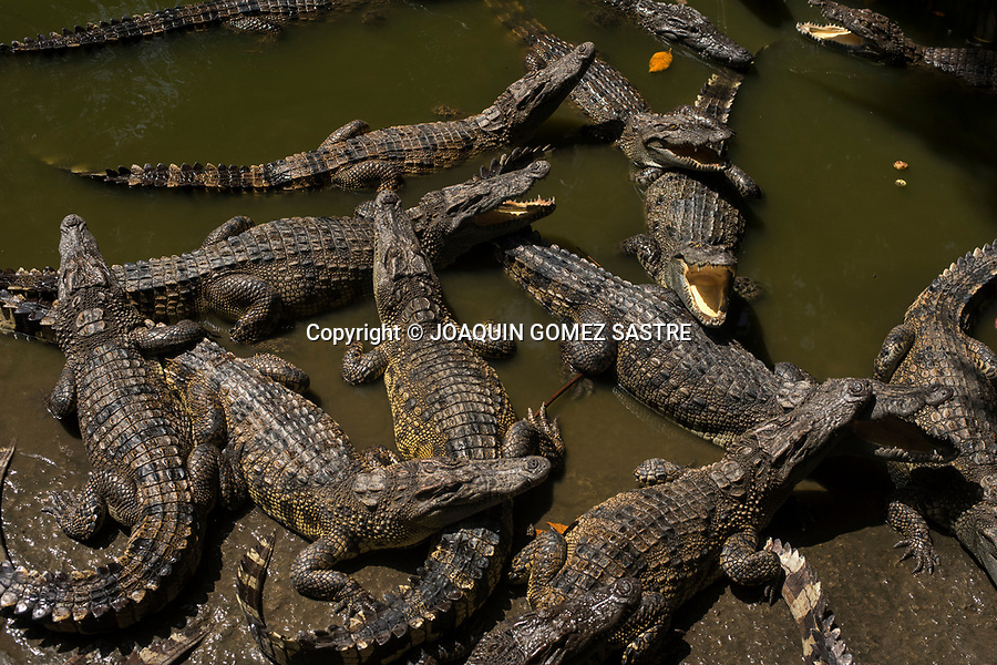 Crocodile farms as a tourist attraction are common along the Mekong River delta in and around Ho Chi Minh City (Vietnam)<br /> HO CHI MINH-VIETNAM