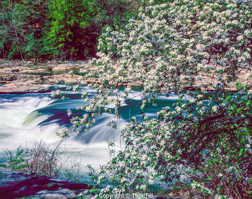 Spring blooms and cascade, Youghiogheny River, Ohiophyle State Park, Pennsylvania, Appalachian Mountains