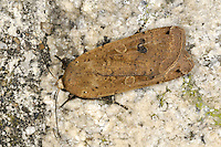 Large Yellow Underwing Noctua pronuba Length 25mm. An extremely common moth. Rests with wings held flat, one forewing overlapping the other. Easily disturbed from vegetation in daytime, when yellow pattern on hindwing becomes obvious. Adult has marbled brown and purplish-grey forewings and yellow hindwings with a narrow subterminal black border. Flies June–September. Larva eats a wide range of herbaceous plants. Widespread and extremely common.
