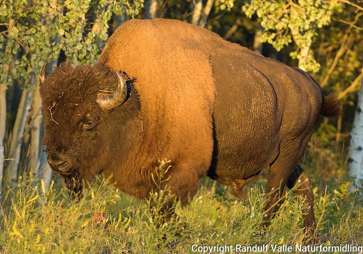 Amerikansk bison (Bison bison athabascae) nær Fort Providence i Canada. ---- American bison (Bison bison athabascae) near Fort Providence, Canada.