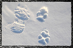 Wolf prints in snow beside boot print.