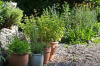Wildkräuter in Töpfen, Topf, Blumentopf, Oregano, Schafgarbe, Thymian in Blumentöpfen auf einer Terrasse, Kiesterasse, Kräutergarten